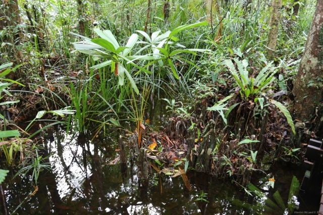 Pneumatophores at the peat swamp